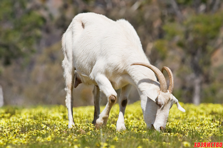 Бесплодие у козы.jpg