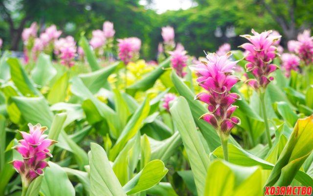 Можно ли имбирь выращивать как комнатное растение4.jpg