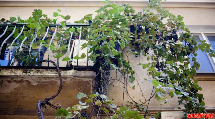 Сажаем виноград 13