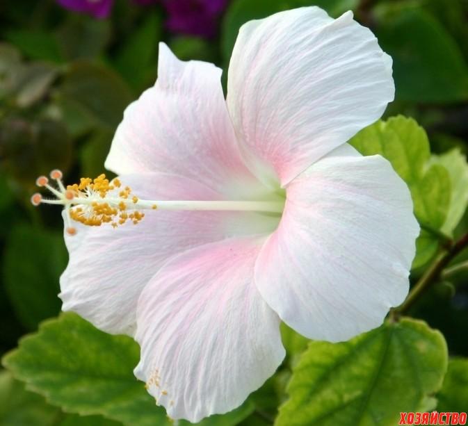 white-hibiscus-3260-1680x1050.jpg