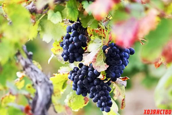 Чем подкормить виноград.jpg