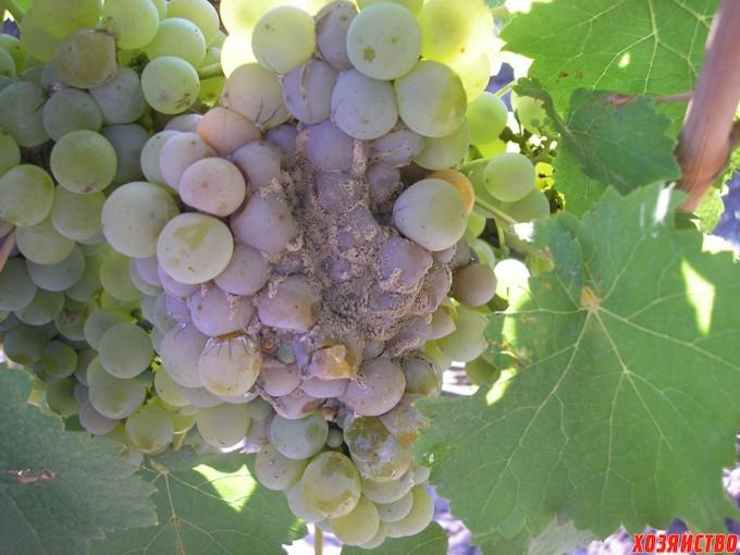 серая гниль винограда2.jpg