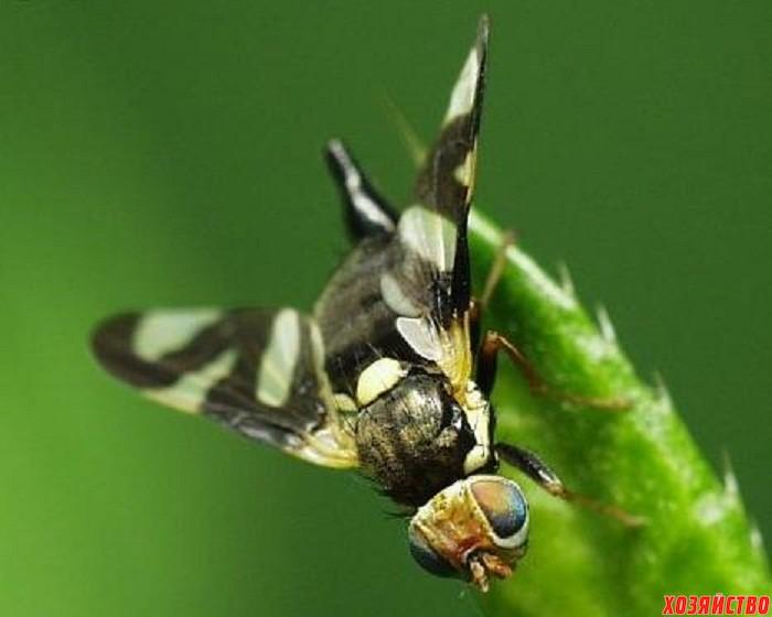 Вишневая муха.jpg