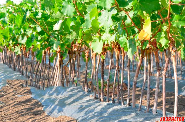 Посадка винограда в школки.jpg