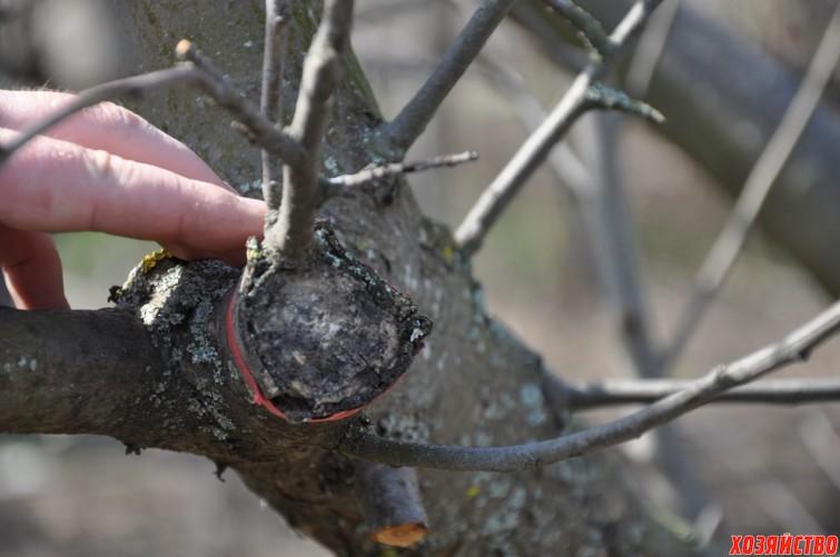 10 Вот прижившаяся прививка на дереве, сделанная в прошлом году.JPG