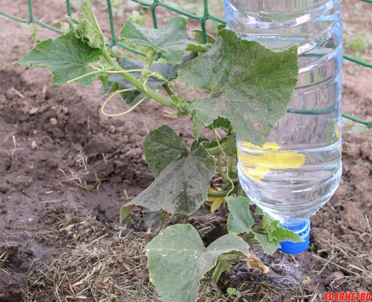 ФОТО-СОВЕТ Огурцы на сетке (на сетку также можно прикрепить бутылку с проткнутым горлышком для капельного полива).JPG