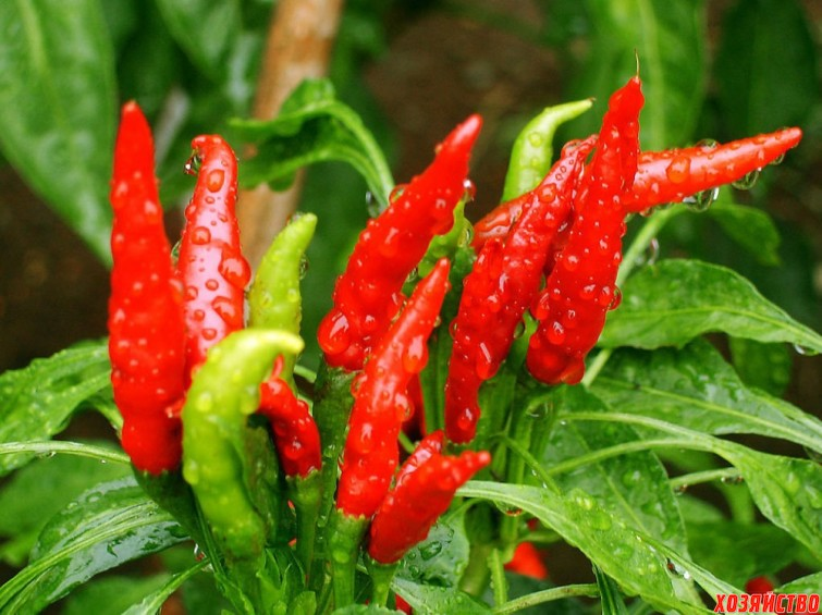 new-2014-Balcony-potted-vegetable-seeds-200pcs-lot-red-font-b-pepper-b-font-seeds-home.jpg
