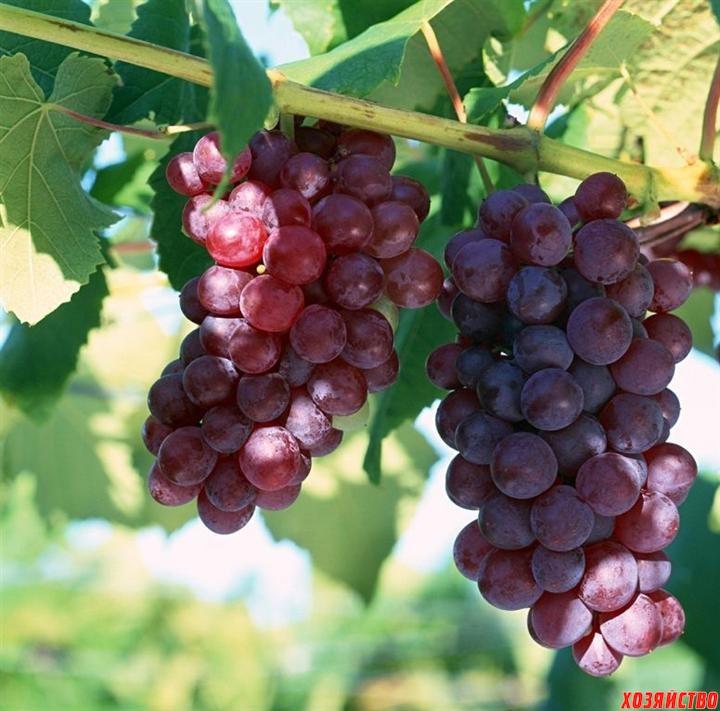 грозди.jpg
