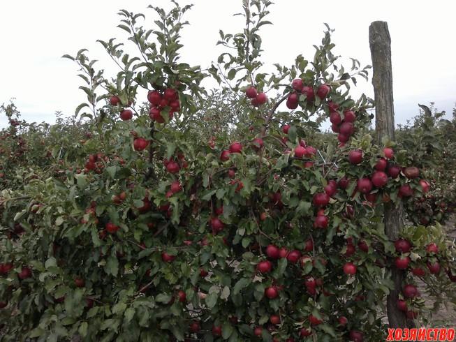 плодоношение сорта Айдаред на 4-й год вегетации