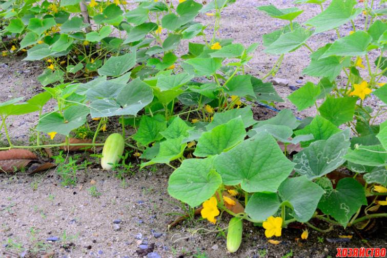 Gurken-selber-pflanzen.jpg