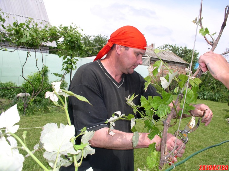 Подвязка винограда.JPG