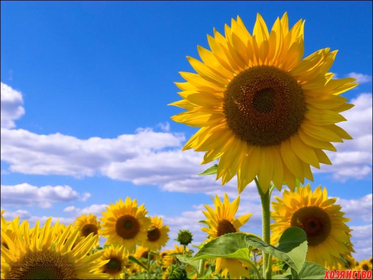 SunFlField.jpg
