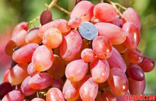 виноград укрывной_Преображение.jpg