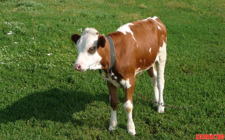 сколько выпаивать теленка молоком.jpg