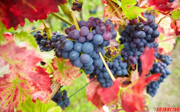 Почему у винограда стали бордовыми листья.jpg