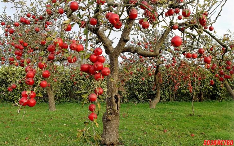 яблони.jpg