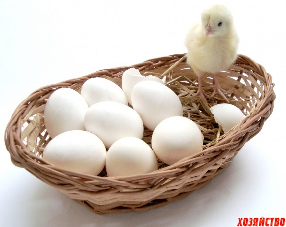 Определяю пол птенцов.jpg
