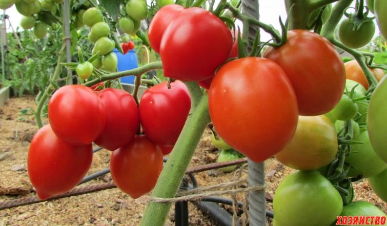 Отличный помидор сорта Буденовка.jpg