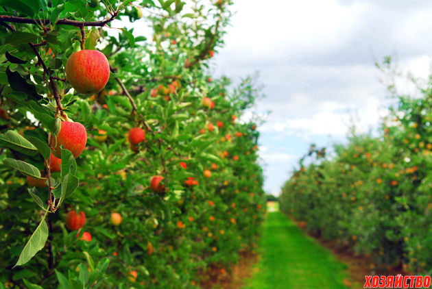 как ускорить плодонощение молодого сада.jpg