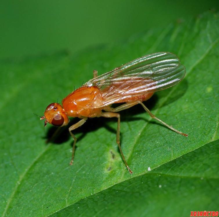 морковная муха.jpg