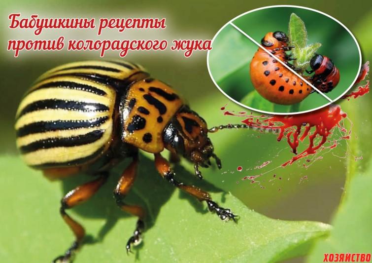 Народные средства против колорадского жука.jpg