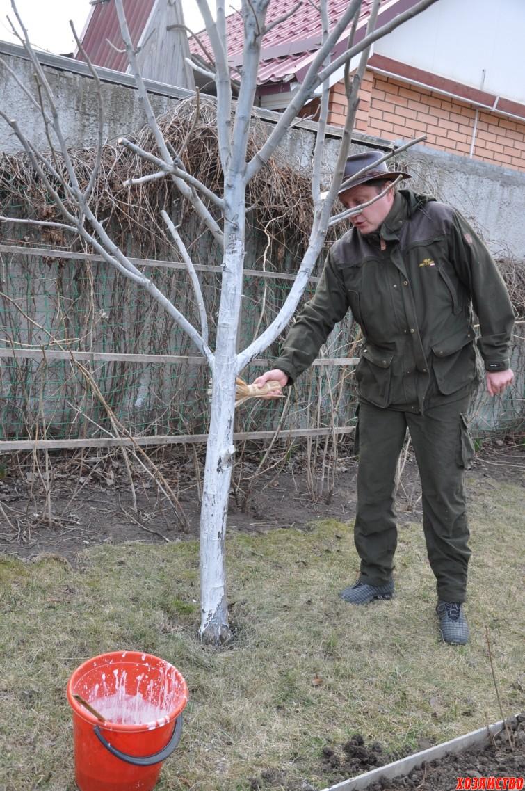 Олег Пахолков Для профилактики образования лишайников, деревья нужно белить осенью и в  зимние оттепели.jpg