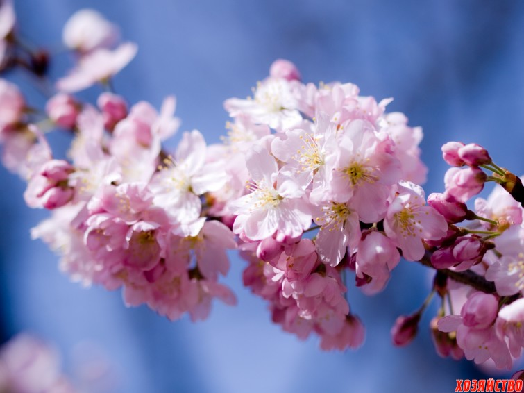 Цветет вишня.jpg