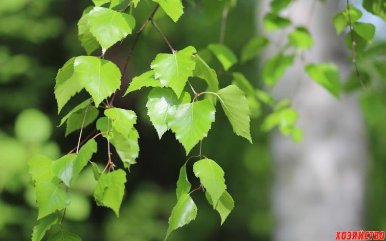 березовых листьев.jpg