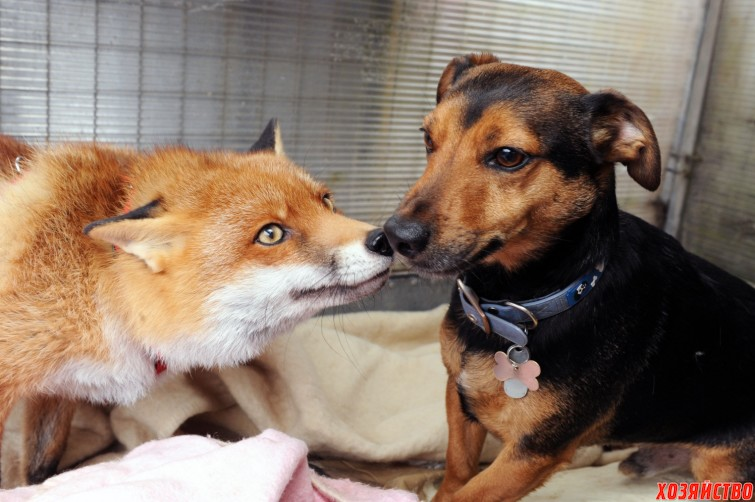 фото домашняя лиса