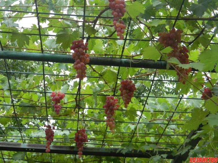 Как сделать виноград аркой 536