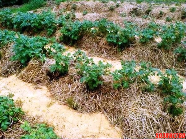 Выращивание картофеля под сеном и соломой 634