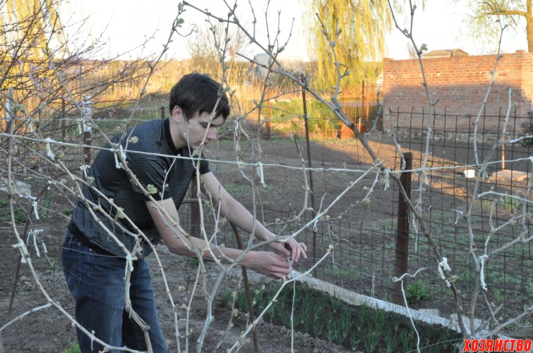 Раскрытие винограда весной.jpg