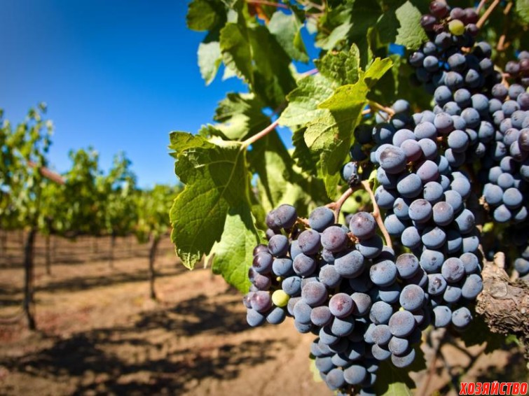 vinograd-785.jpg