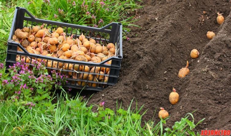 Огород когда сажать картофель 57