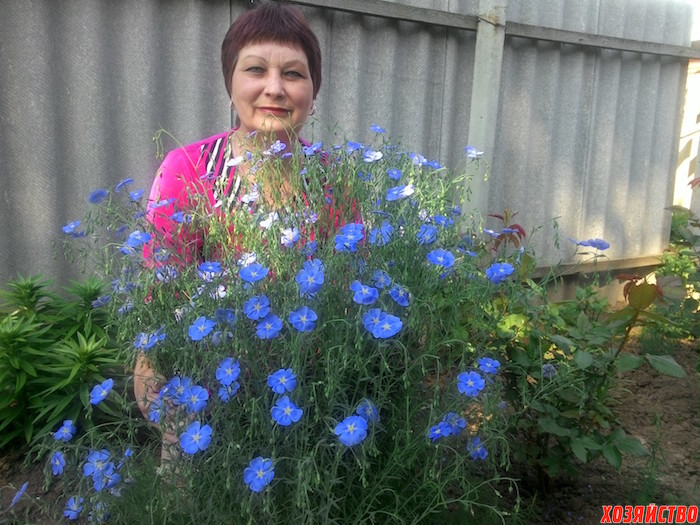 Лен декоративный выращивание из семян 27