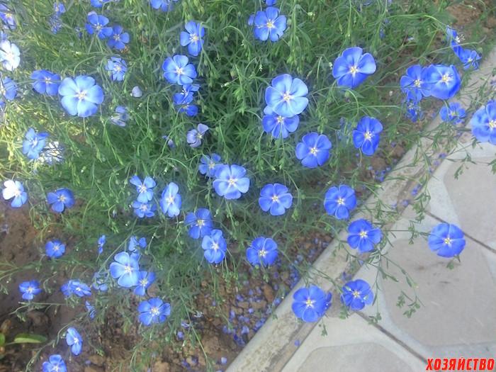 Ленок цветы как сажать 26