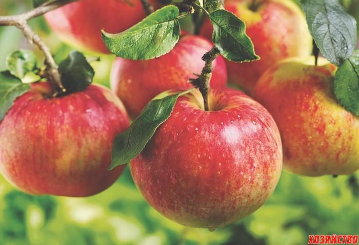 Картинки по запросу яблоня плодоносит