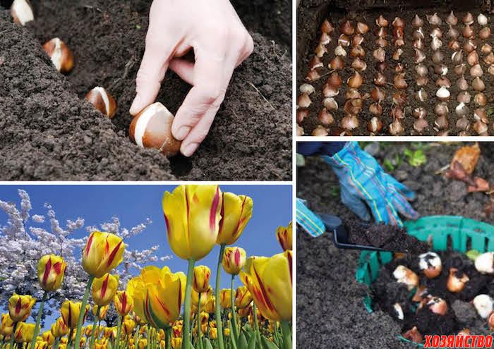 Можно ли сегодня сажать тюльпаны 13