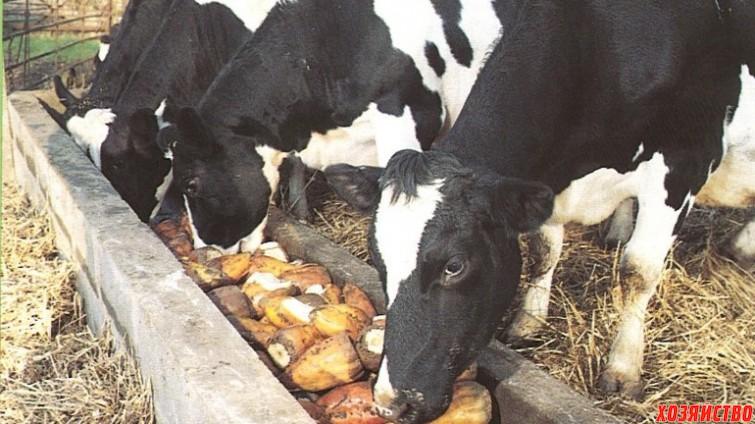 Можно ли кормить буренку картофелем