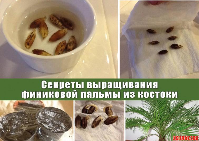 Как вырастить финик в домашних условиях плоды 127