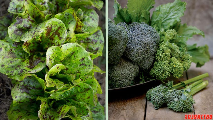 Всё о выращивании брокколи