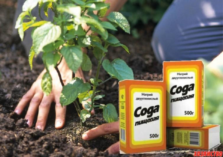Сода пищевая в саду и огороде