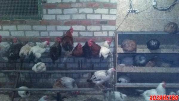 Выращивание кур несушек в гараже 71