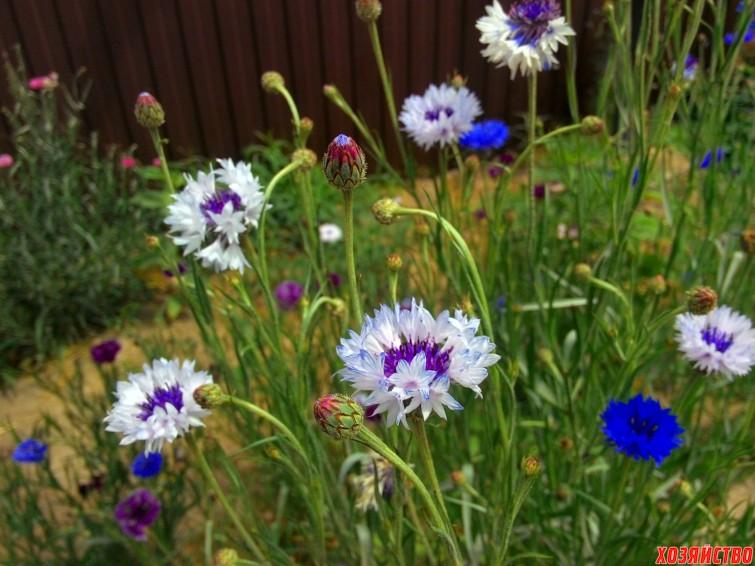 Цветы васильки клумбы