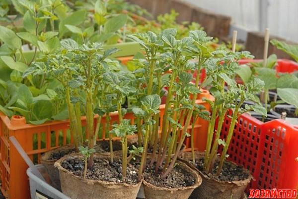 для вырастить картофель из семян слишком