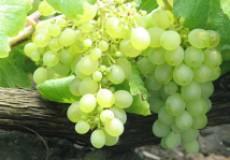 10 лучших ранних сортов винограда