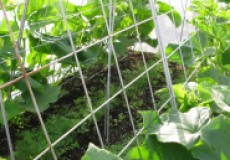 Очень простой способ вырастить огромный урожай огурцов