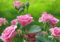 Кормлю свои розы правильно – и наслаждаюсь богатым цветением