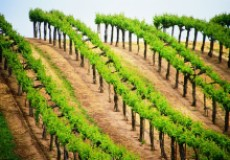 Вопросы от наших читателей по применению химических препаратов на виноградниках