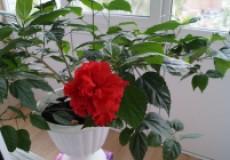 История любви китайской розы к мужчине